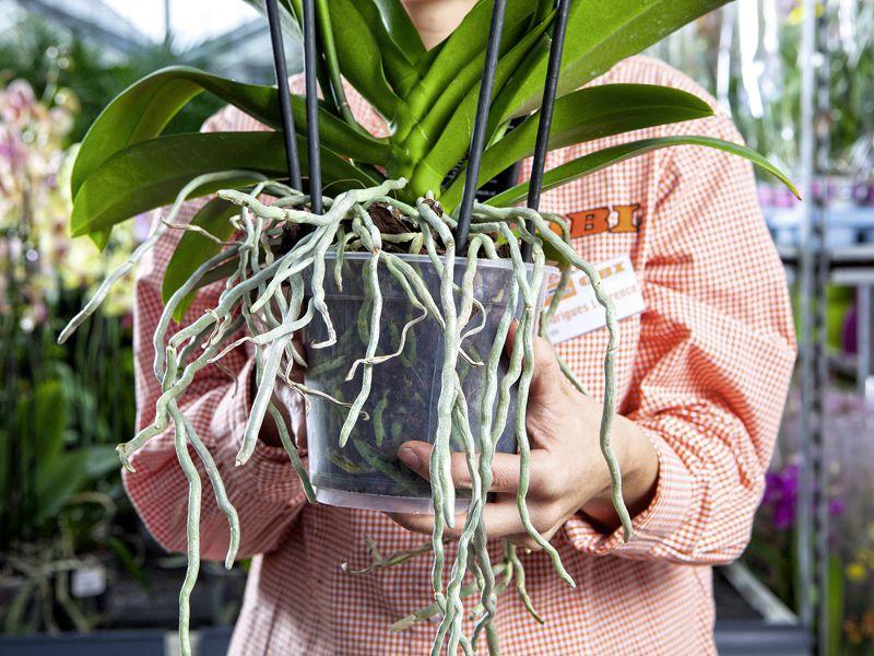 racines des orchid es l 39 atelier des fleurs. Black Bedroom Furniture Sets. Home Design Ideas