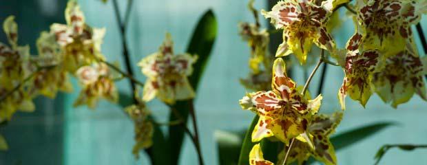 Comment entretenir son orchid e l 39 atelier des fleurs for Entretenir une orchidee en pot