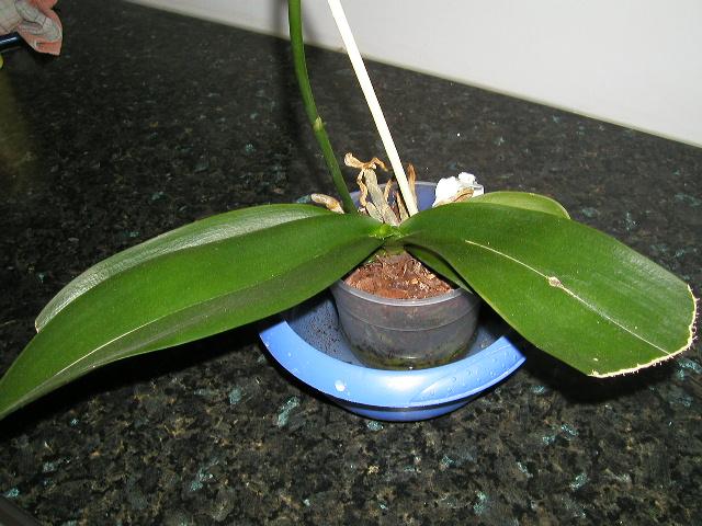 Comment arroser des orchid es l 39 atelier des fleurs - Comment arroser une orchidee ...