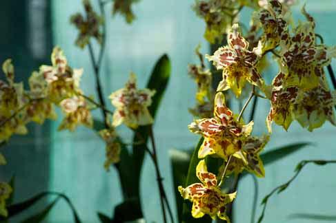 Soigner les orchid es en pot l 39 atelier des fleurs Comment entretenir orchidee