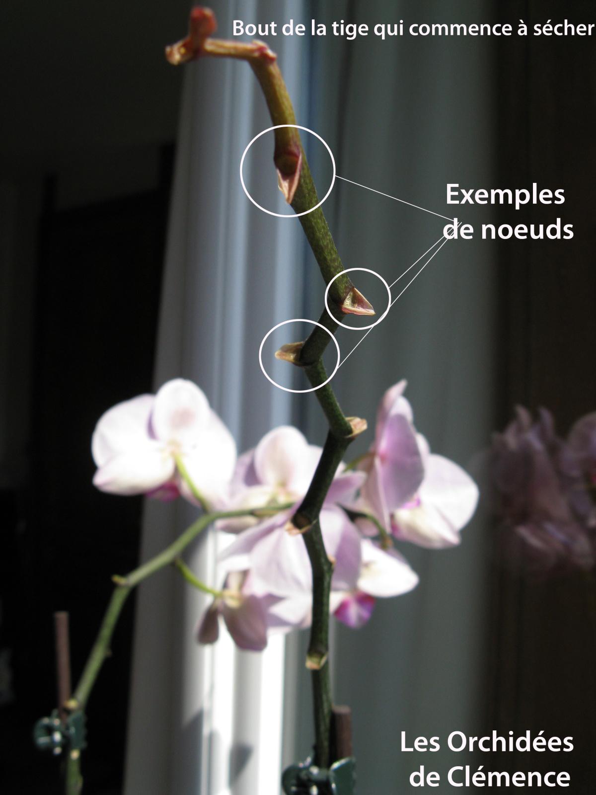 Couper une orchid e l 39 atelier des fleurs - Orchidee entretien apres floraison ...