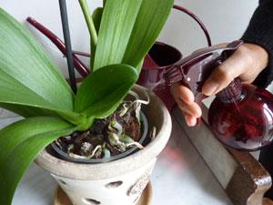 Comment sauver une orchid e l 39 atelier des fleurs - Comment garder une orchidee ...