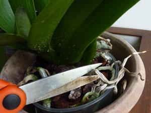 orchid e fanee entretien l 39 atelier des fleurs. Black Bedroom Furniture Sets. Home Design Ideas