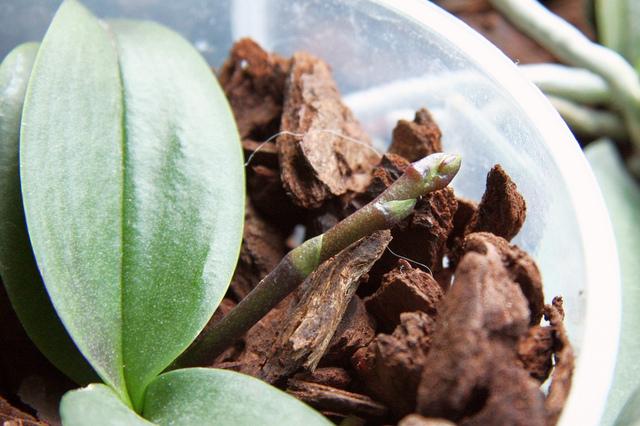 comment faire refleurir une orchid e phalaenopsis l 39 atelier des fleurs. Black Bedroom Furniture Sets. Home Design Ideas