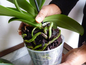 comment s occuper d une orchid e phalaenopsis l 39 atelier des fleurs. Black Bedroom Furniture Sets. Home Design Ideas