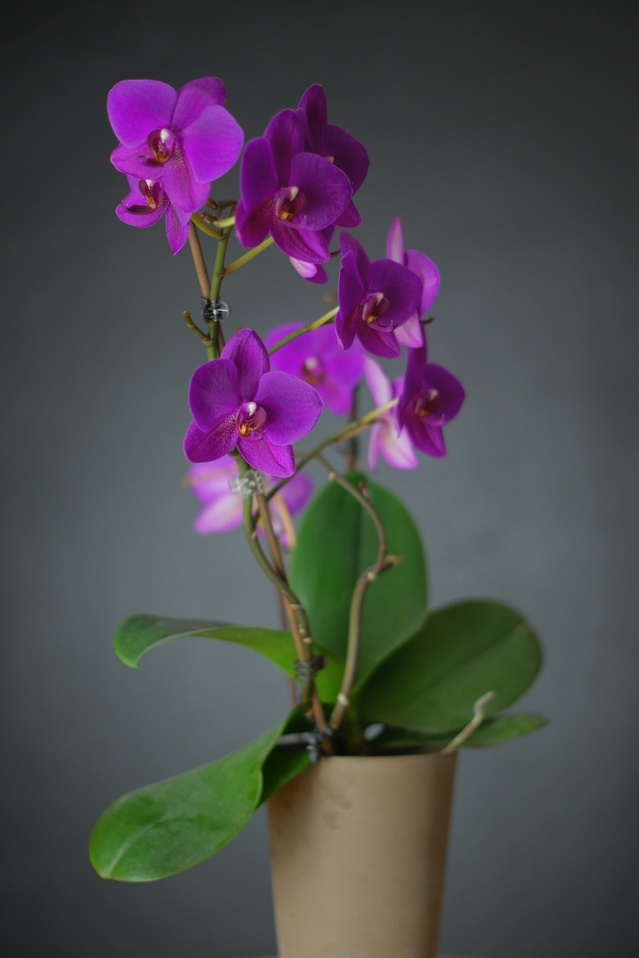 arrosage orchid e en vase l 39 atelier des fleurs. Black Bedroom Furniture Sets. Home Design Ideas