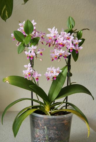 Engrais pour orchid e phalaenopsis l 39 atelier des fleurs - Terreau pour orchidee ...