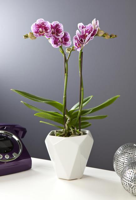 cache pot pour orchid e l 39 atelier des fleurs. Black Bedroom Furniture Sets. Home Design Ideas