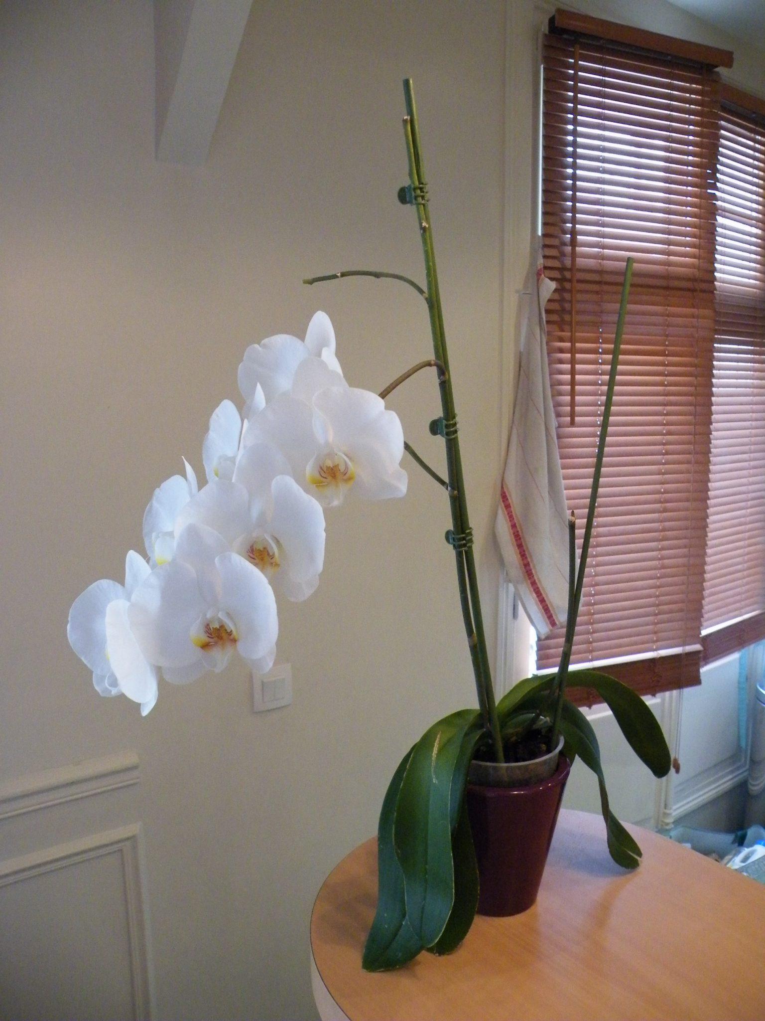 Arrosage orchid e en fleurs l 39 atelier des fleurs - Arrosage orchidee en pot ...