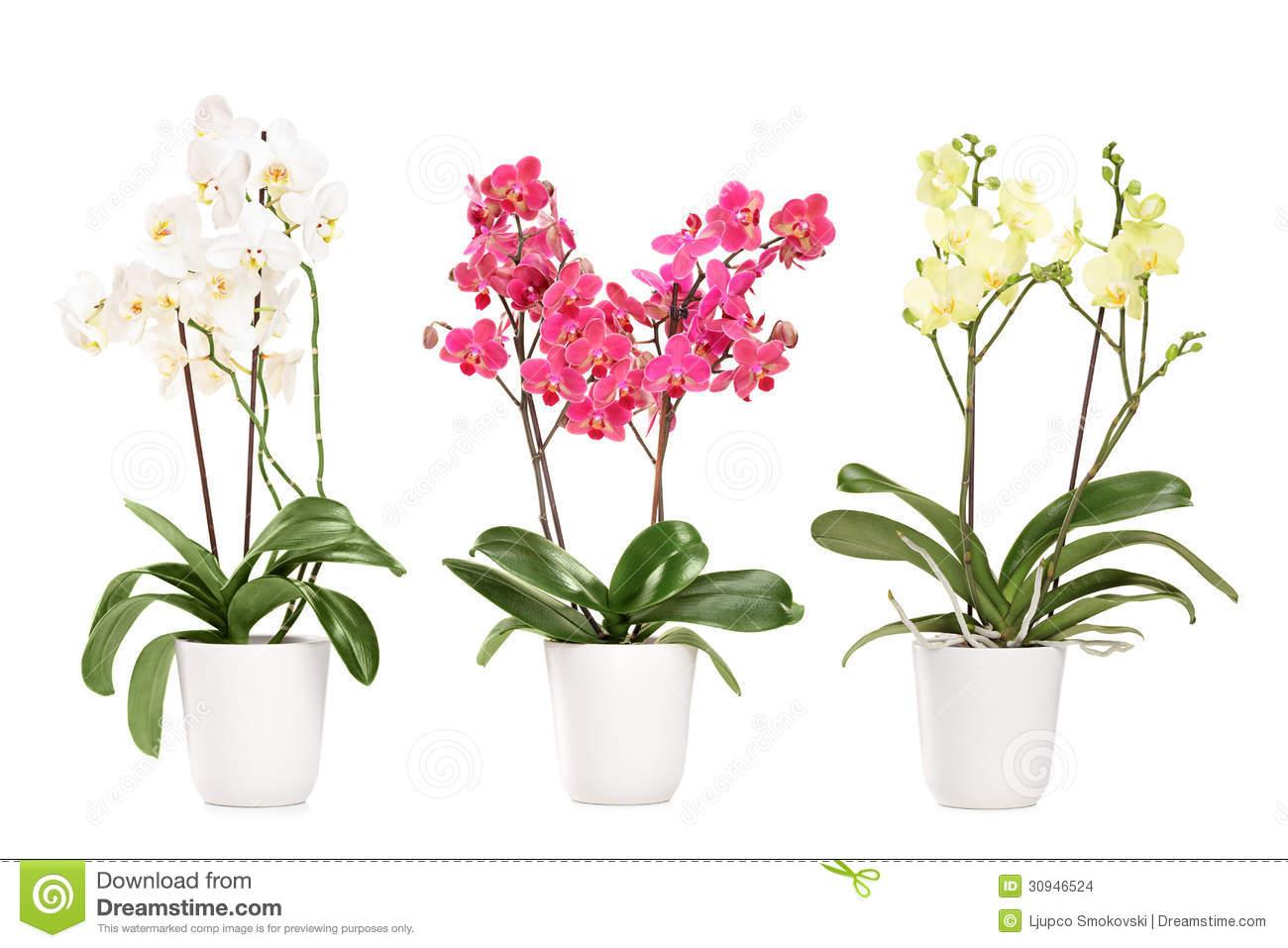 floraison orchid e en pot l 39 atelier des fleurs. Black Bedroom Furniture Sets. Home Design Ideas