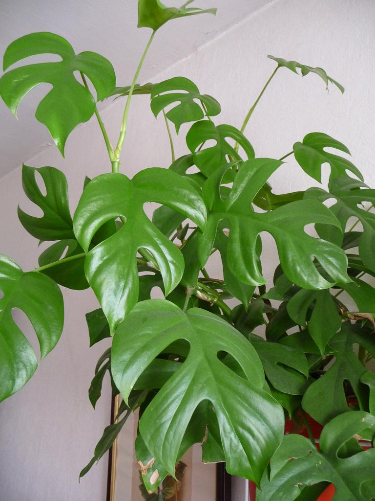 Plantes vertes grimpantes d int rieur l 39 atelier des fleurs for Plante interieur exotique