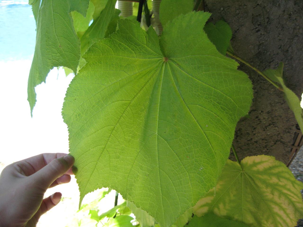 plante grande feuille verte exterieur l 39 atelier des fleurs. Black Bedroom Furniture Sets. Home Design Ideas