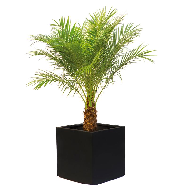 plante d int rieur palmier l 39 atelier des fleurs. Black Bedroom Furniture Sets. Home Design Ideas
