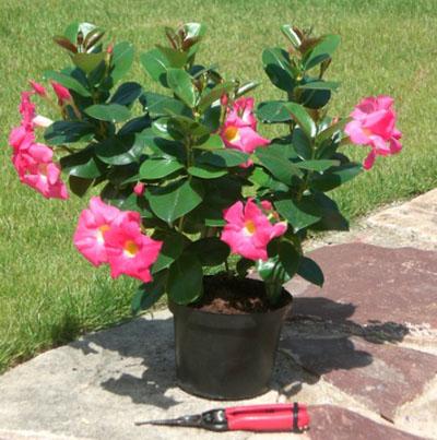 Plante fleurie exterieur l 39 atelier des fleurs for Plante exterieure fleurie