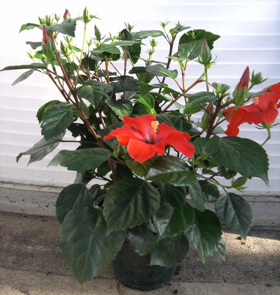 plante interieur fleurie rouge l 39 atelier des fleurs. Black Bedroom Furniture Sets. Home Design Ideas
