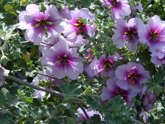 Lavatere vivace l 39 atelier des fleurs for Plante verte vivace