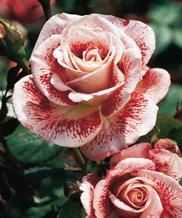 Vente de plantes par correspondance l 39 atelier des fleurs for Commande plantes par correspondance