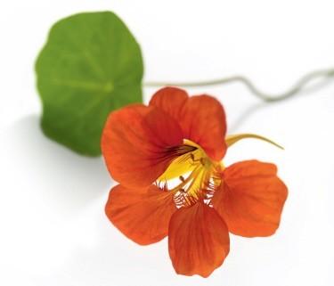 fleur de capucine cuisine l 39 atelier des fleurs. Black Bedroom Furniture Sets. Home Design Ideas