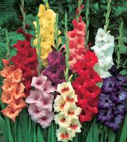 Quand planter bulbes glaieuls - l'atelier des fleurs