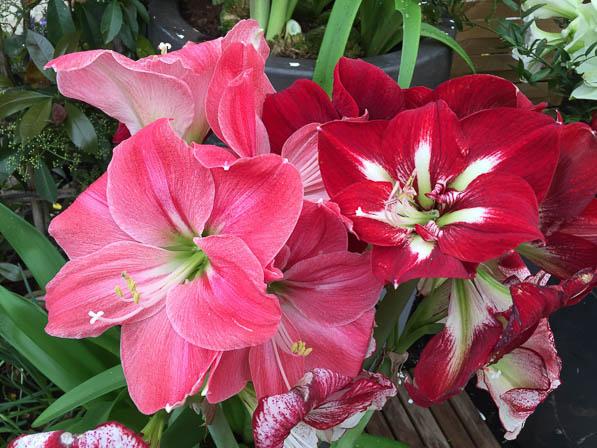 Achat bulbe amaryllis l 39 atelier des fleurs for Amaryllis planter bulbe