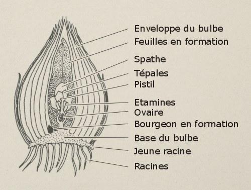 Bulbe oignon l 39 atelier des fleurs for Planter oignon amaryllis