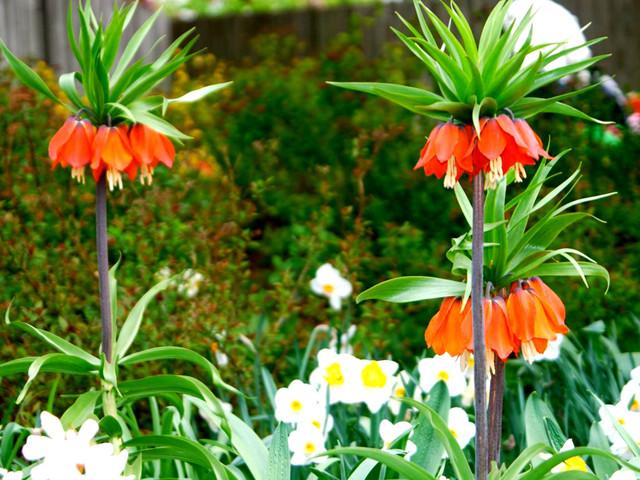 Quels bulbes planter au printemps l 39 atelier des fleurs - Bulbes a planter au printemps ...