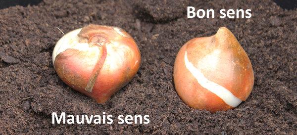 Comment planter bulbes tulipes - l'atelier des fleurs