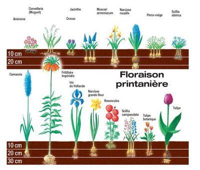 Quand planter des bulbes de jacinthes l 39 atelier des fleurs - Quand planter les oignons rouges ...