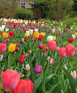 Oignons de tulipes quand les planter l 39 atelier des fleurs - Quand ramasser les oignons ...