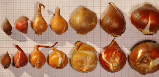 Planter un bulbe de tulipe l 39 atelier des fleurs - Quand planter bulbes tulipes ...