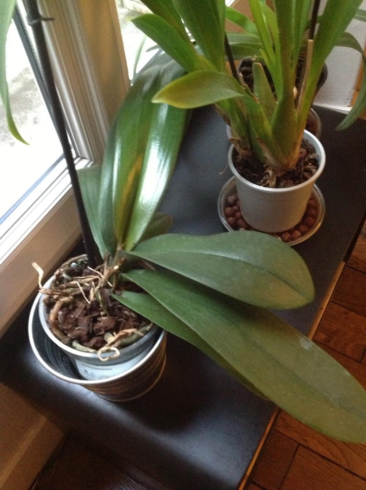 Comment faire pousser une orchid e l 39 atelier des fleurs - Comment entretenir un orchidee ...