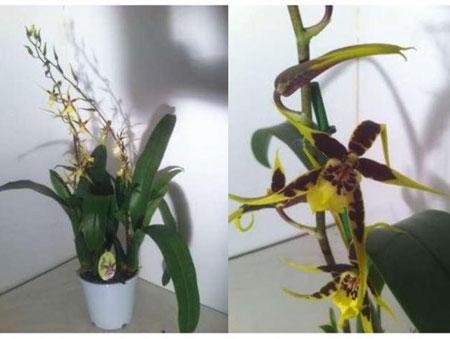 sortes d orchid es l 39 atelier des fleurs. Black Bedroom Furniture Sets. Home Design Ideas
