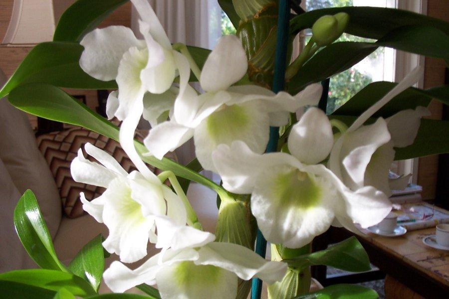 toutes les sortes d orchid es l 39 atelier des fleurs. Black Bedroom Furniture Sets. Home Design Ideas
