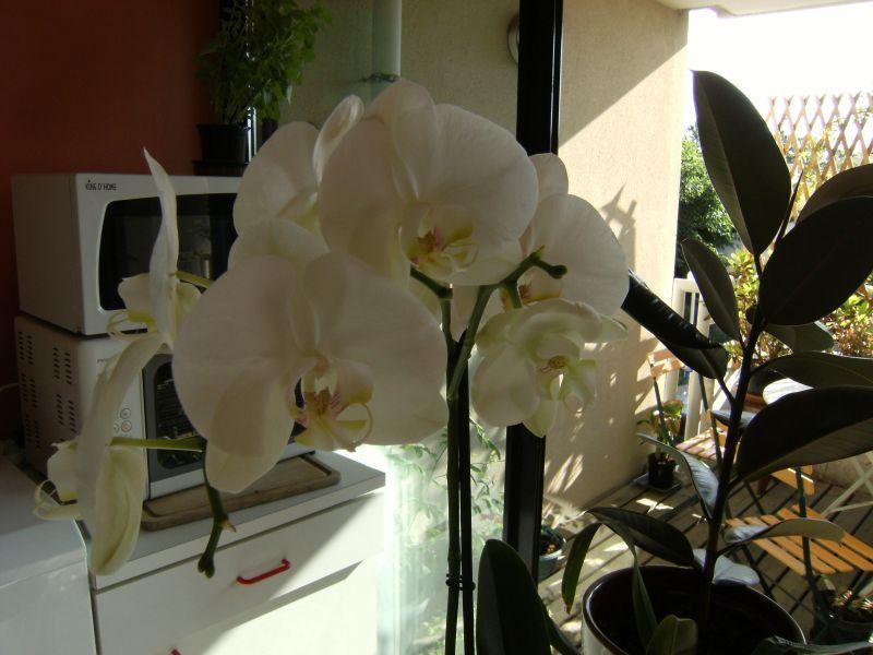 entretien d une orchid e phalaenopsis l 39 atelier des fleurs. Black Bedroom Furniture Sets. Home Design Ideas