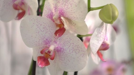 tout savoir sur l orchid e l 39 atelier des fleurs. Black Bedroom Furniture Sets. Home Design Ideas
