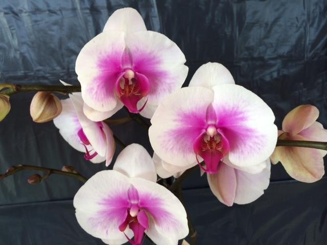 orchid e maladie blanche l 39 atelier des fleurs. Black Bedroom Furniture Sets. Home Design Ideas