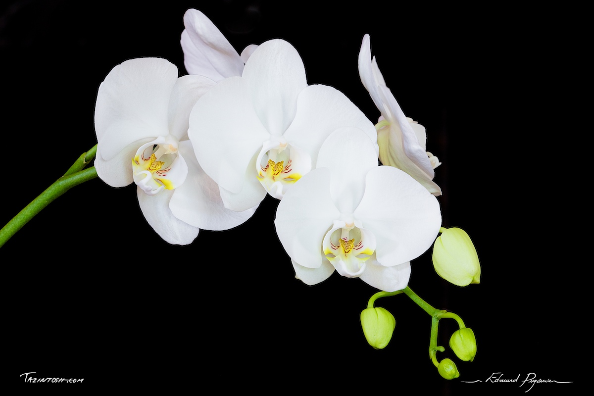 phalaenopsis orchid e l 39 atelier des fleurs. Black Bedroom Furniture Sets. Home Design Ideas