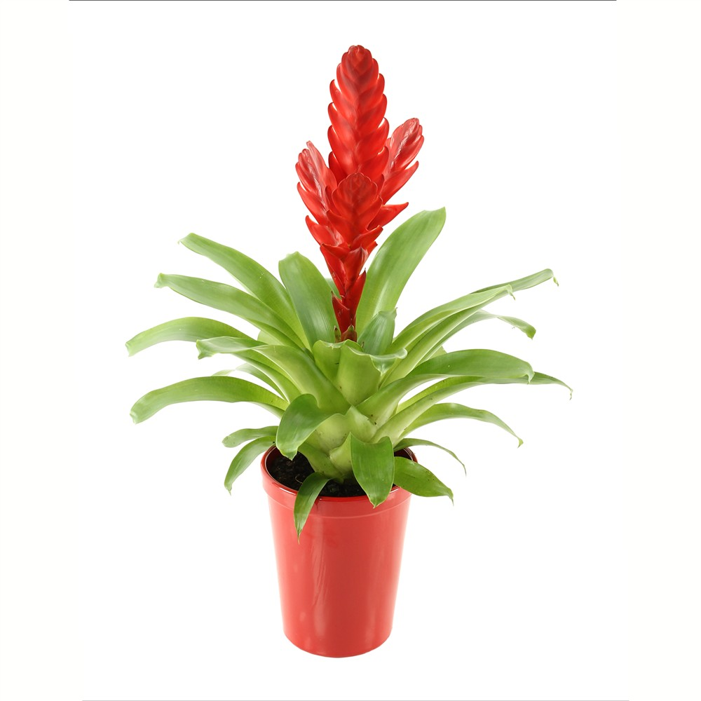 plante interieur rouge l 39 atelier des fleurs. Black Bedroom Furniture Sets. Home Design Ideas