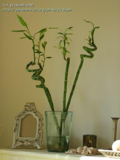 bambou plante d int rieur l 39 atelier des fleurs. Black Bedroom Furniture Sets. Home Design Ideas