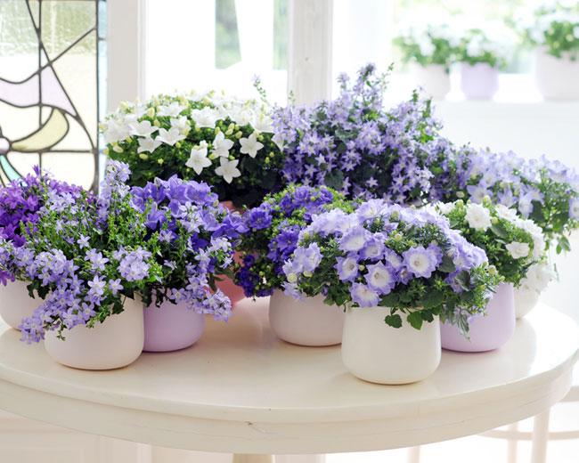 petite plante fleurie d int rieur l 39 atelier des fleurs. Black Bedroom Furniture Sets. Home Design Ideas