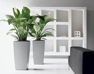 grande plante verte d int rieur l 39 atelier des fleurs. Black Bedroom Furniture Sets. Home Design Ideas
