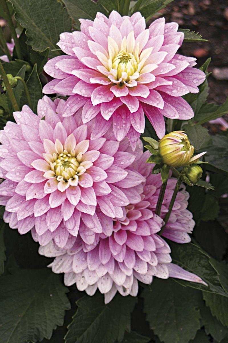 Fleur commençant par c - l'atelier des fleurs