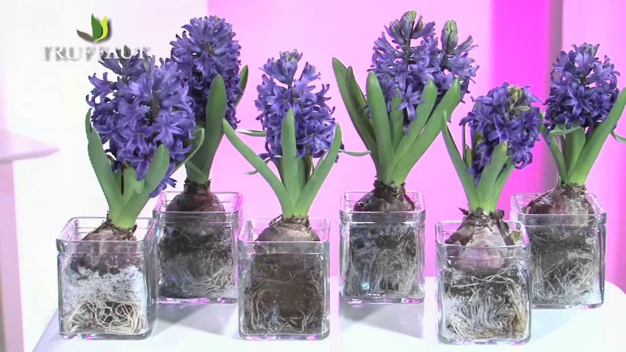planter bulbe jacinthe apres floraison l 39 atelier des fleurs. Black Bedroom Furniture Sets. Home Design Ideas