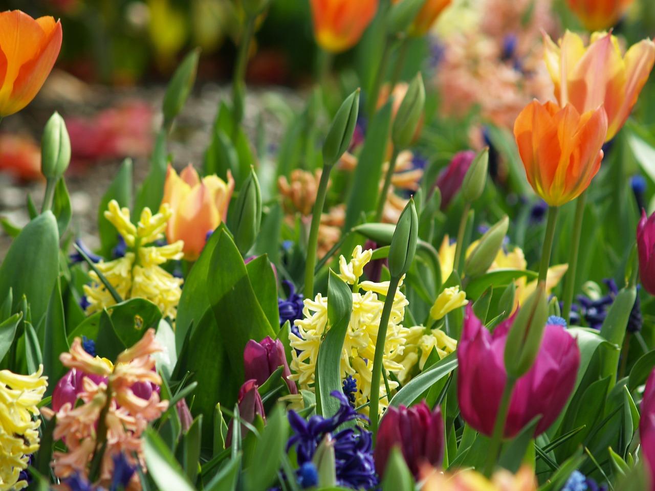 quand planter tulipes et jonquilles l 39 atelier des fleurs. Black Bedroom Furniture Sets. Home Design Ideas