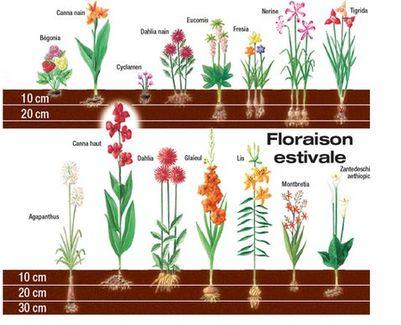 Bulbe tulipe plantation - l'atelier des fleurs